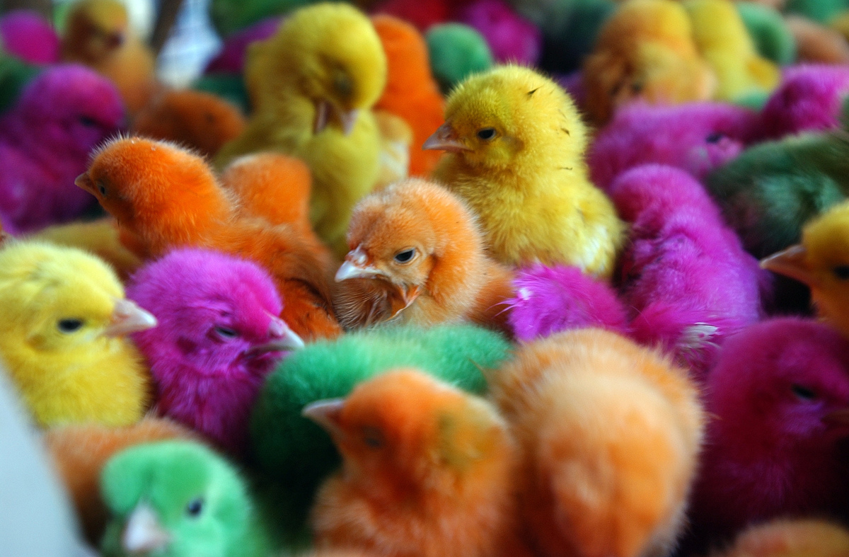 Artificially Dyeing Animals Ban Could Be Reinstated In