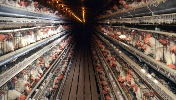 Image result for cafo eggs