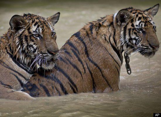 endangered tigers