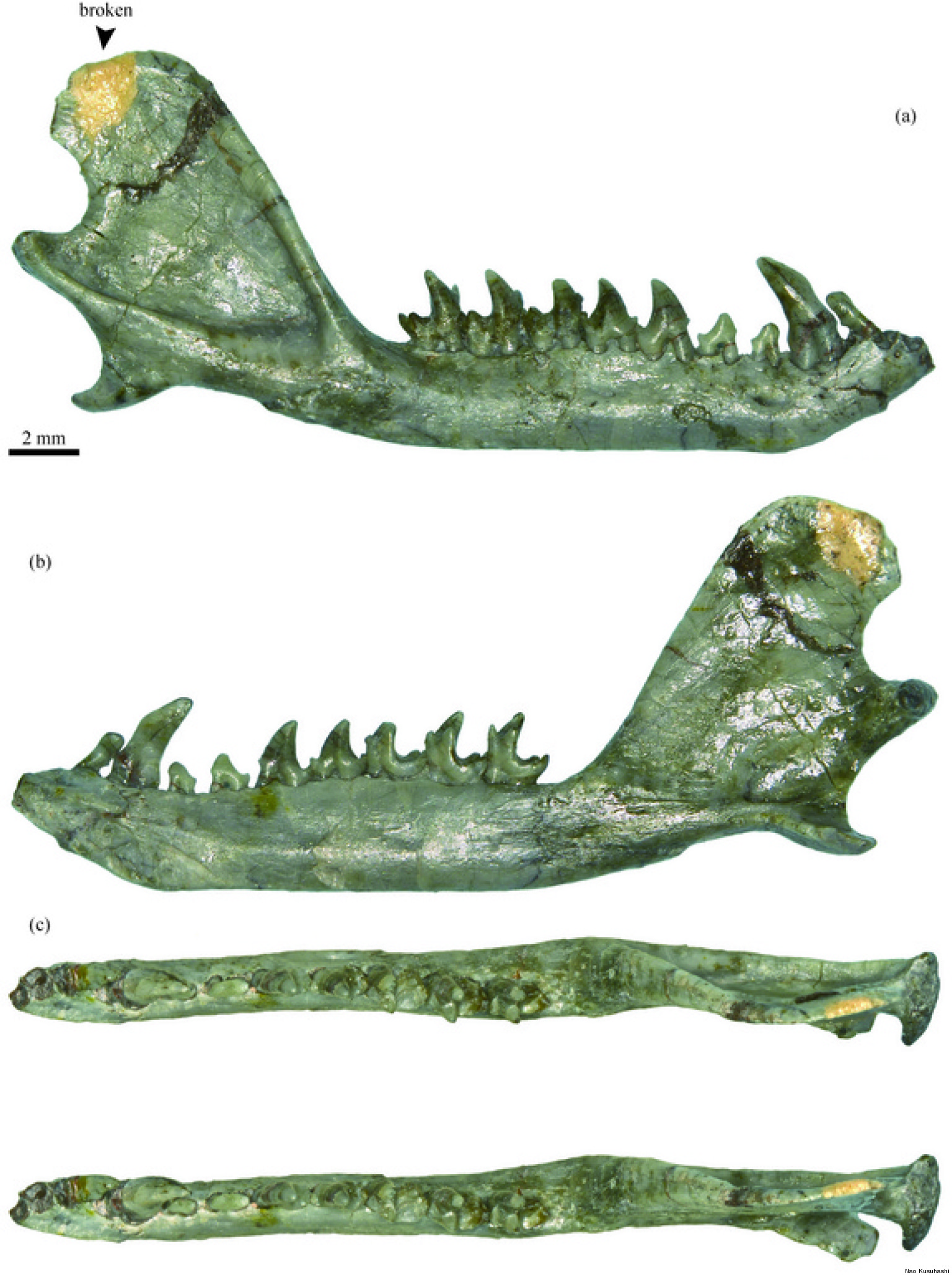 Jaw Fossil Of Ancient Mammal With Modern Teeth Unearthed