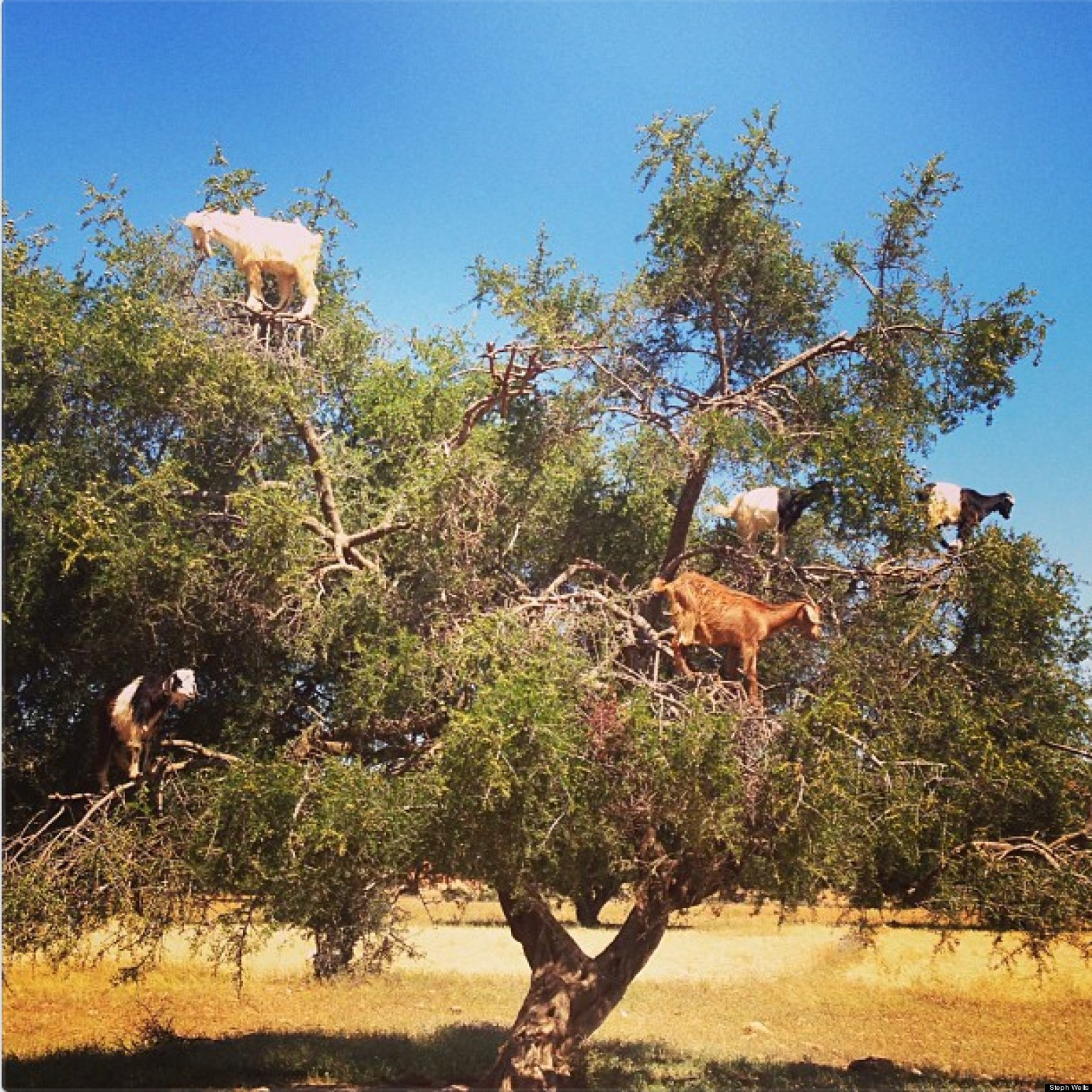 Goats Standing In Trees Zomg