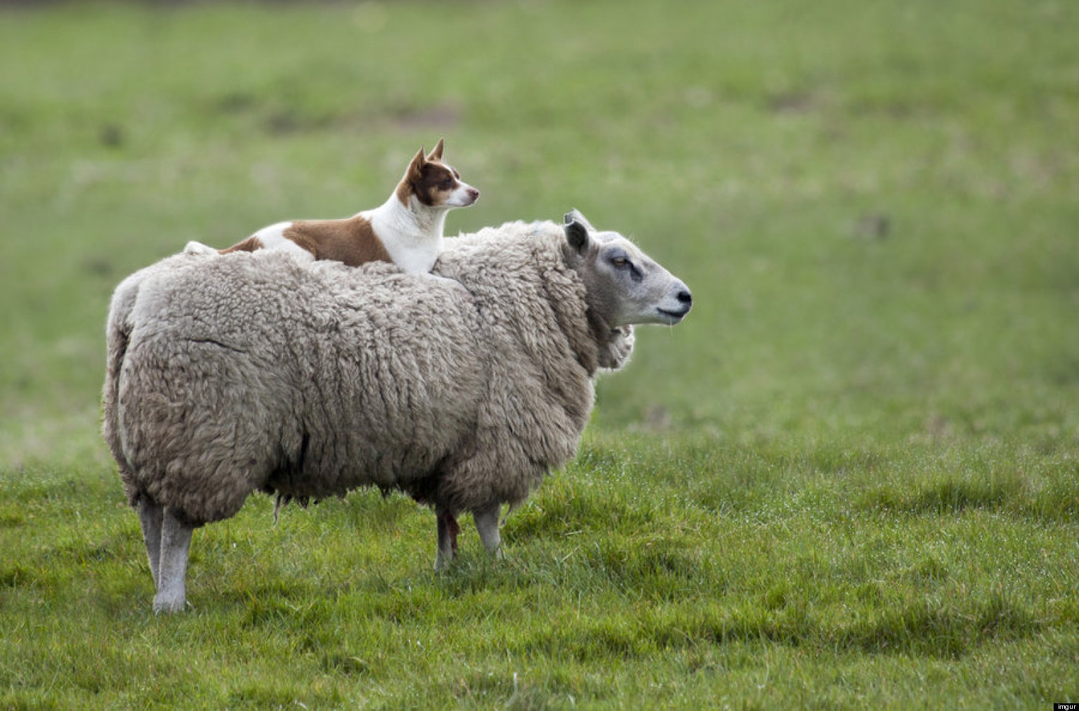 Dog Rides Sheep In The Best Photo You Might See All Day