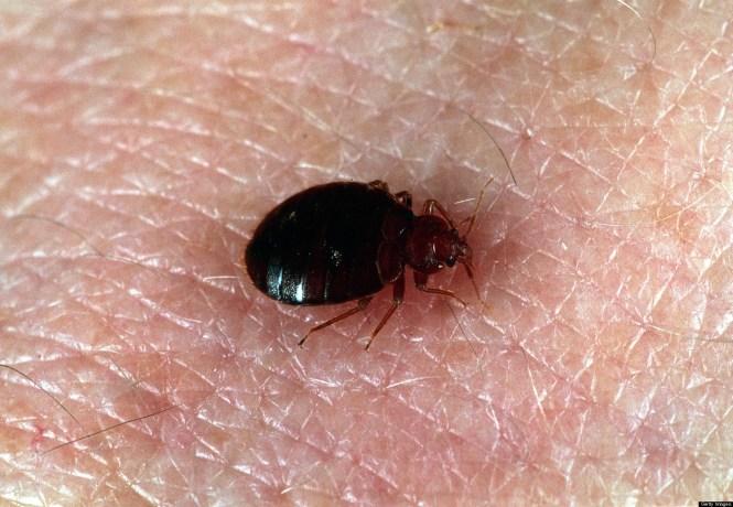 Little Black Bugs In Bedroom. Tiny Black Bugs Found In Bedroom   Bedroom Style Ideas