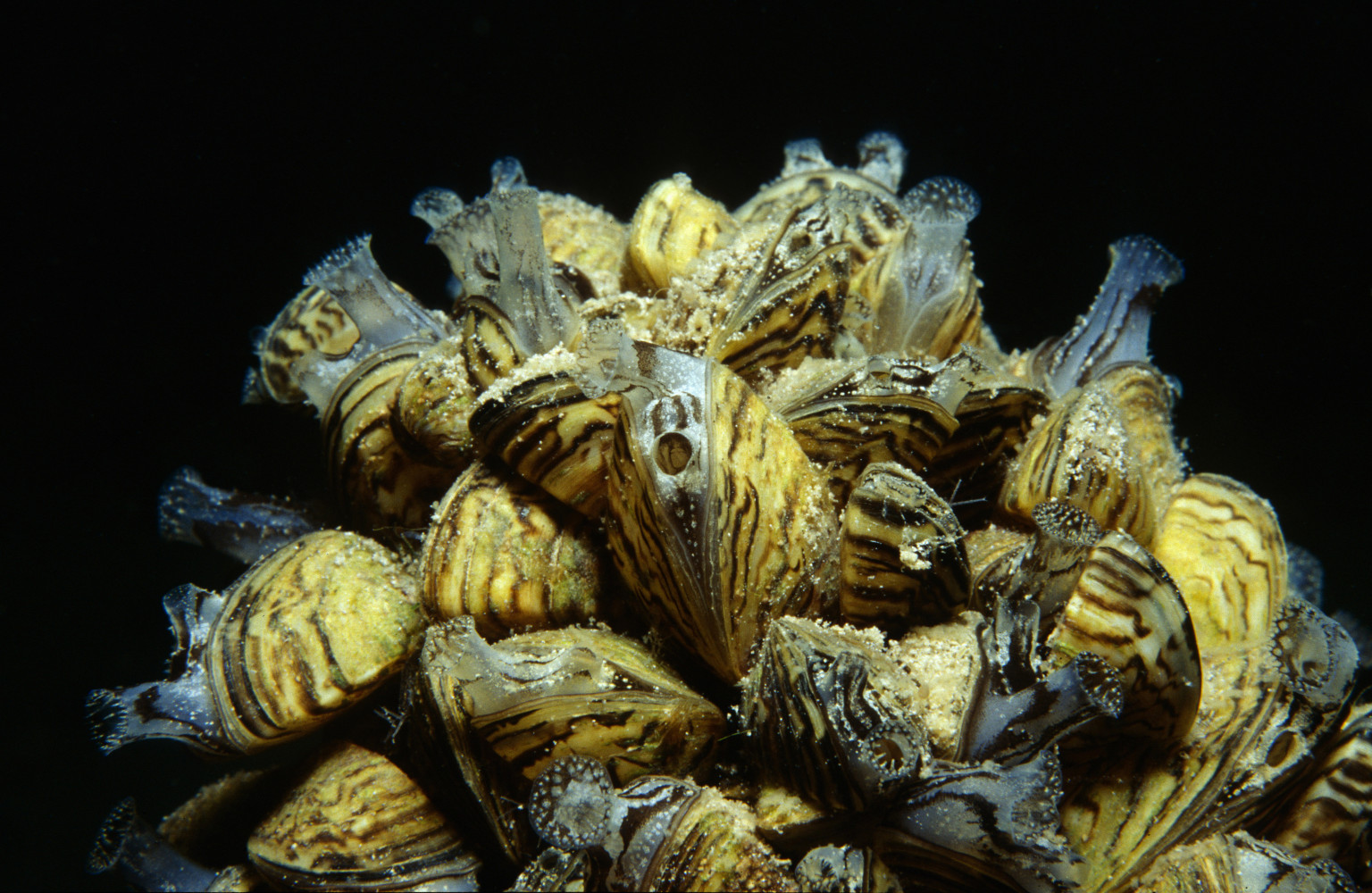 Zebra Mussels Fouling U S Waters As States Seek Fed S
