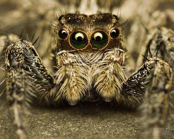 spidere