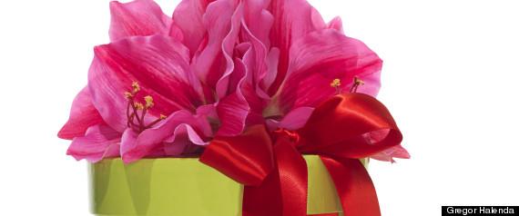 amaryllis bulb kit