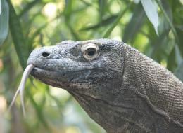 San Antonio Zoo Komodo Dragon