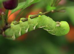 smoking caterpillar