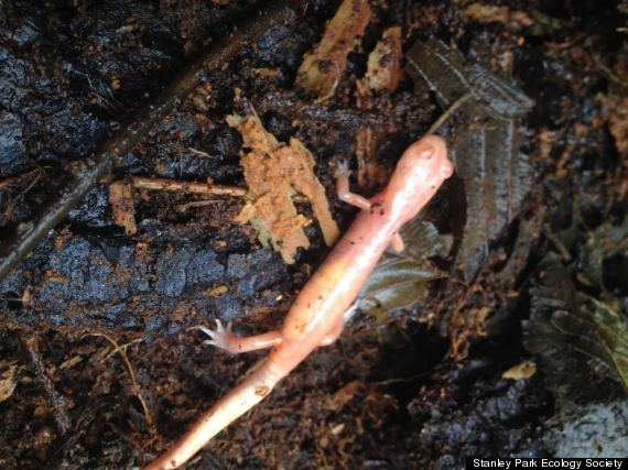 albino salamander