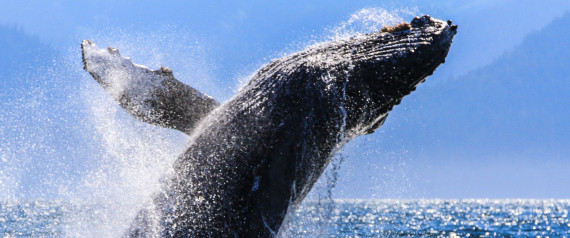 humpback whale threatened