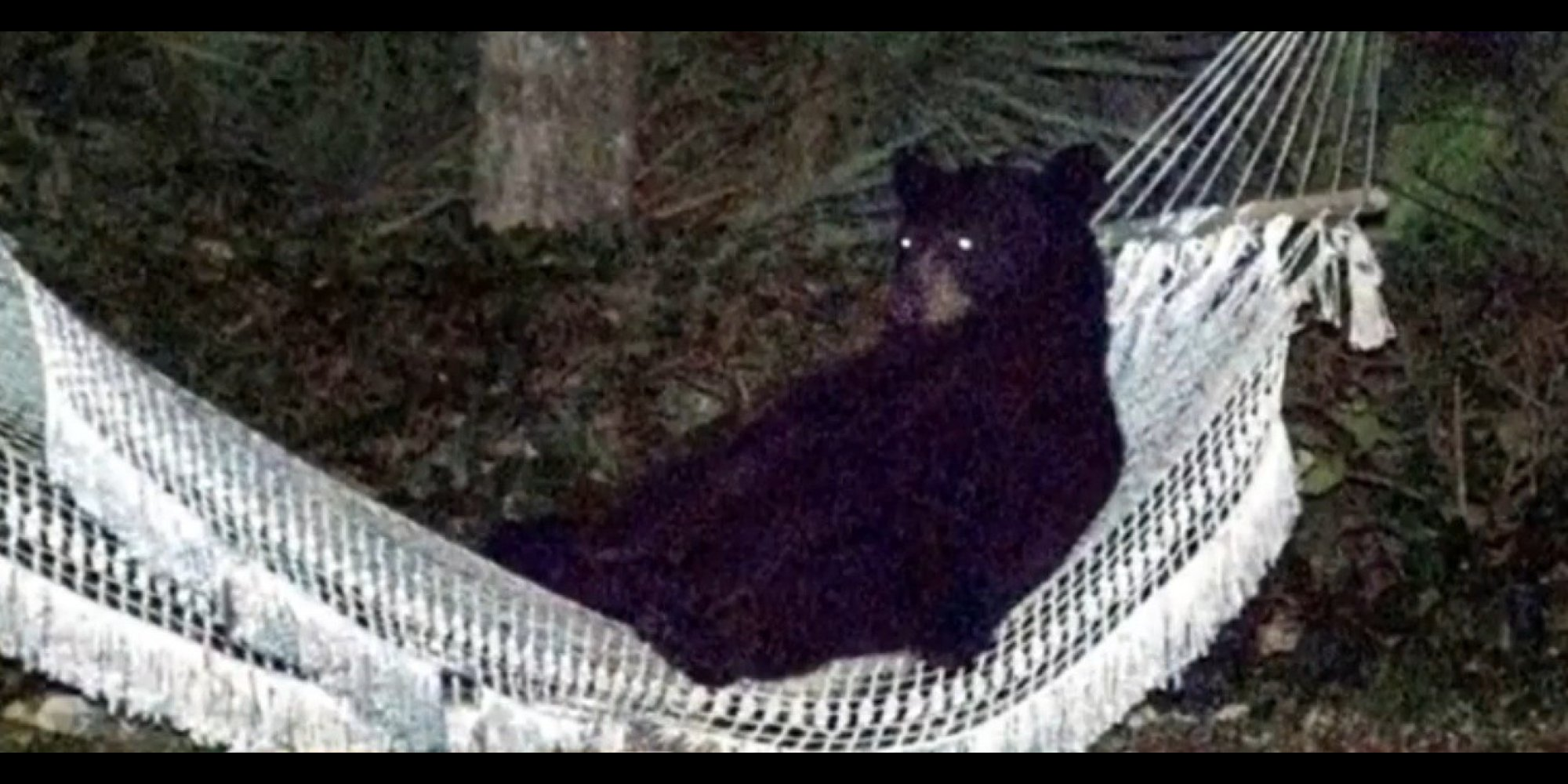Bear In A Hammock Hammock Later Removed By Owner