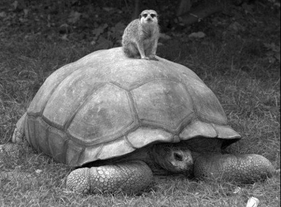 meerkat tortoise