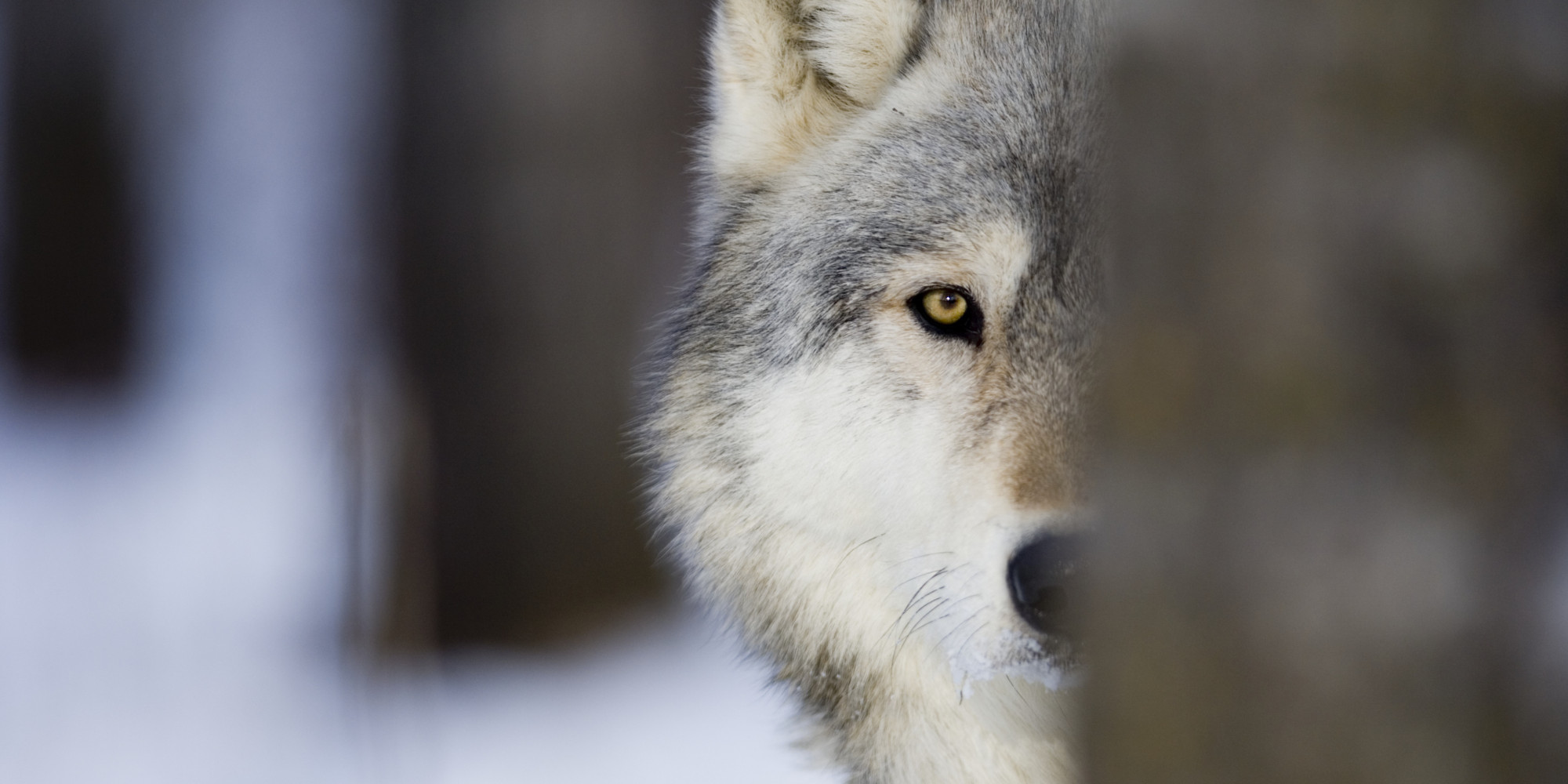 Image result for images of lone wolves