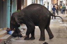 Wild Elephants Go on Rampage