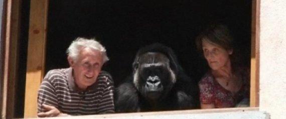 Adopt Gorilla