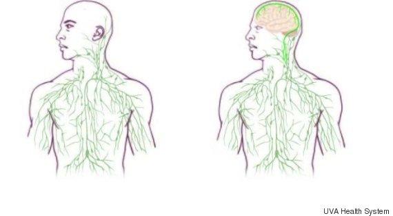 brain immune system