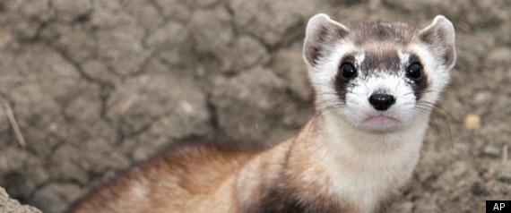 Zoo Helps Restore Nearly Extinct Ferret In U.S. West