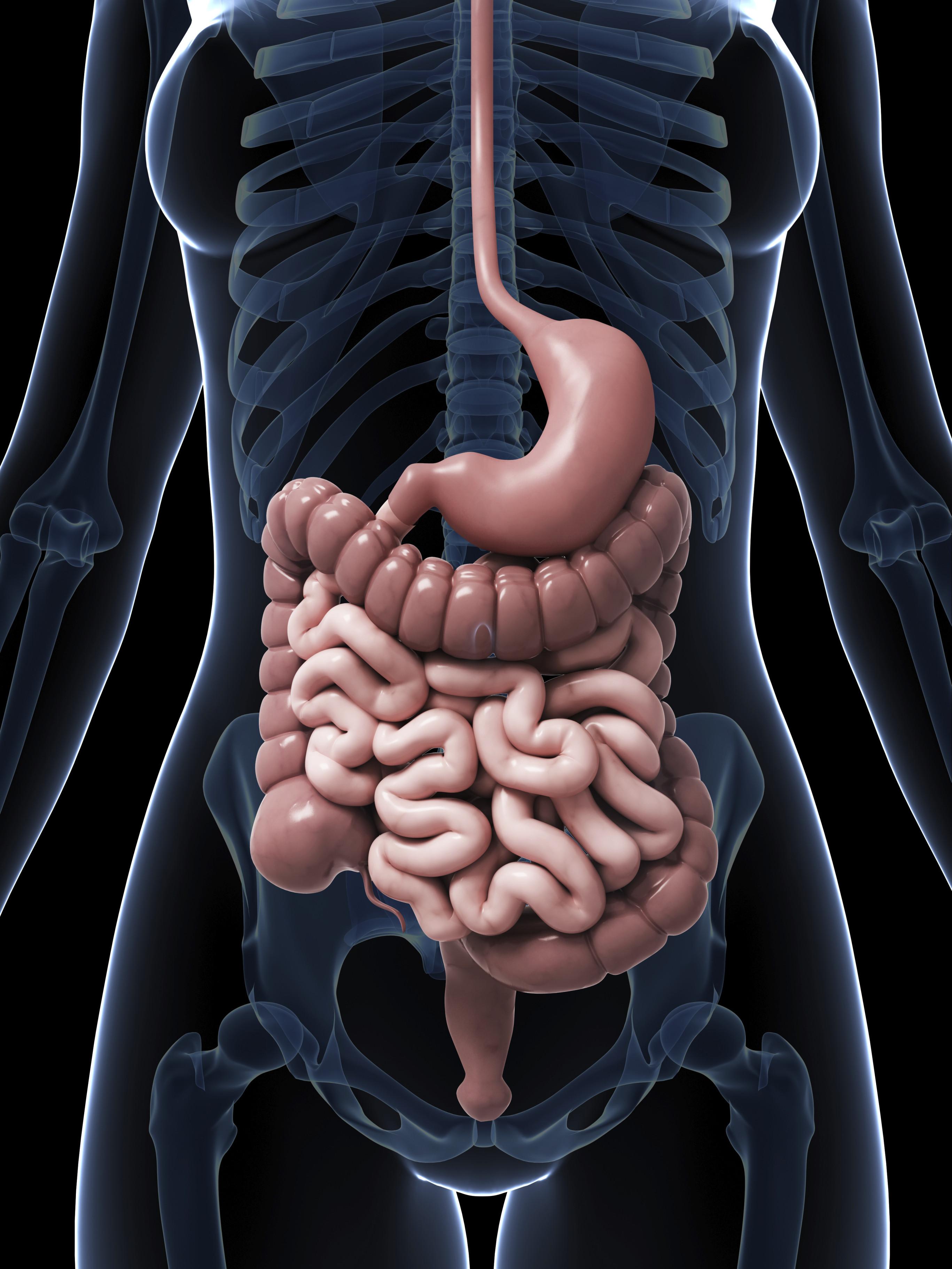 stomach intestine