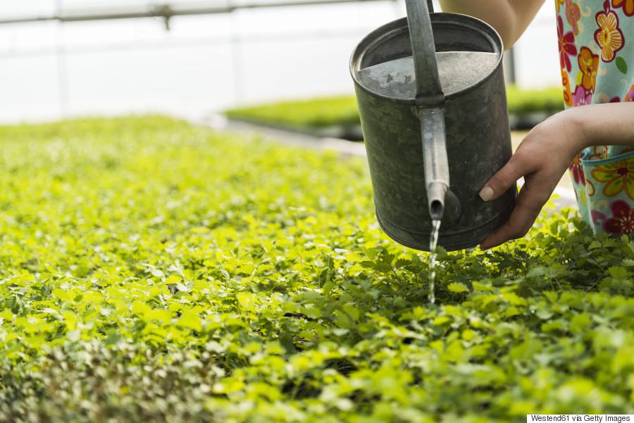 watering herbs