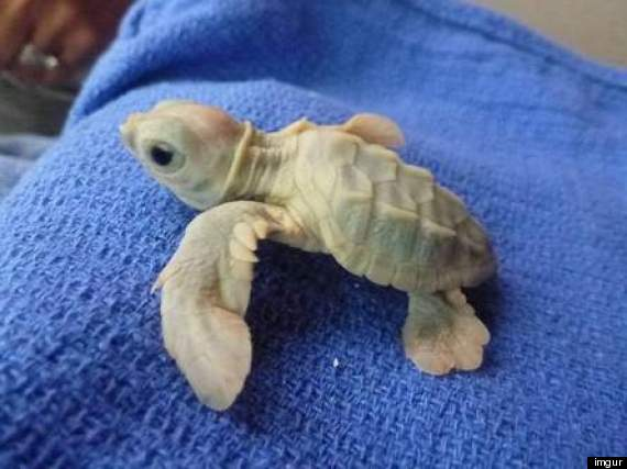 White baby loggerhead turtle, photo Amber Bridges