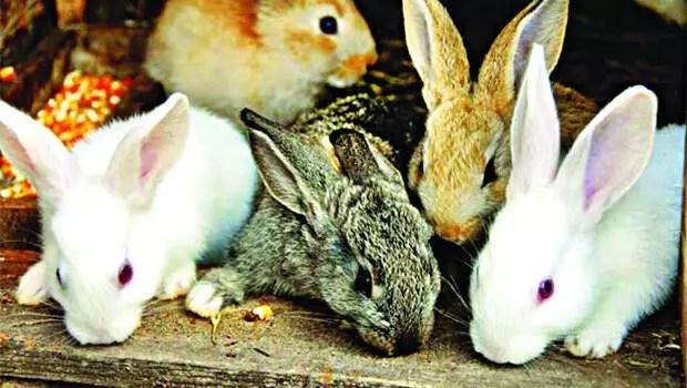 Tavşan katliamı