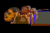 Aphaenogaster-subterranea.png