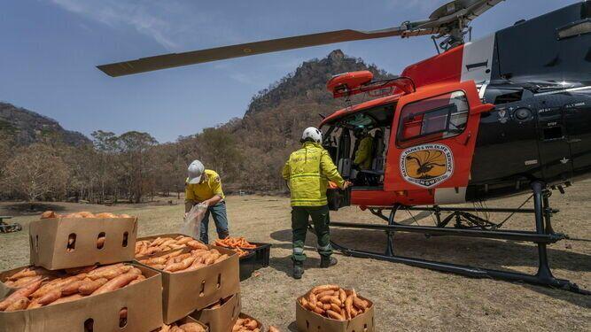 Desesperación en Australia: Helicópteros lanzan verduras para alimentar a los animales