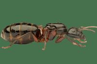 Camponotus-herculeanus-removebg-preview.png