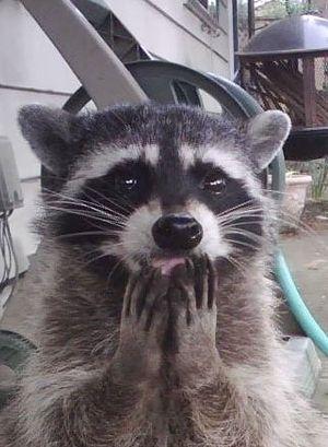 Trash Panda Raccoon Blank Template Imgflip