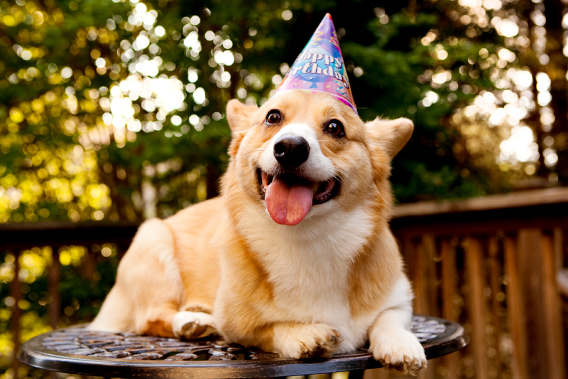 Birthday Corgi Blank Template Imgflip