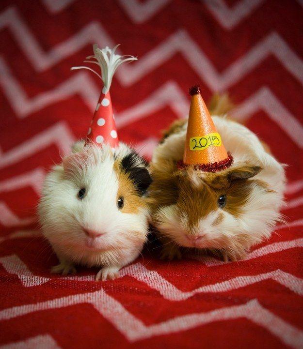 Guinea Pig Birthday Blank Template Imgflip