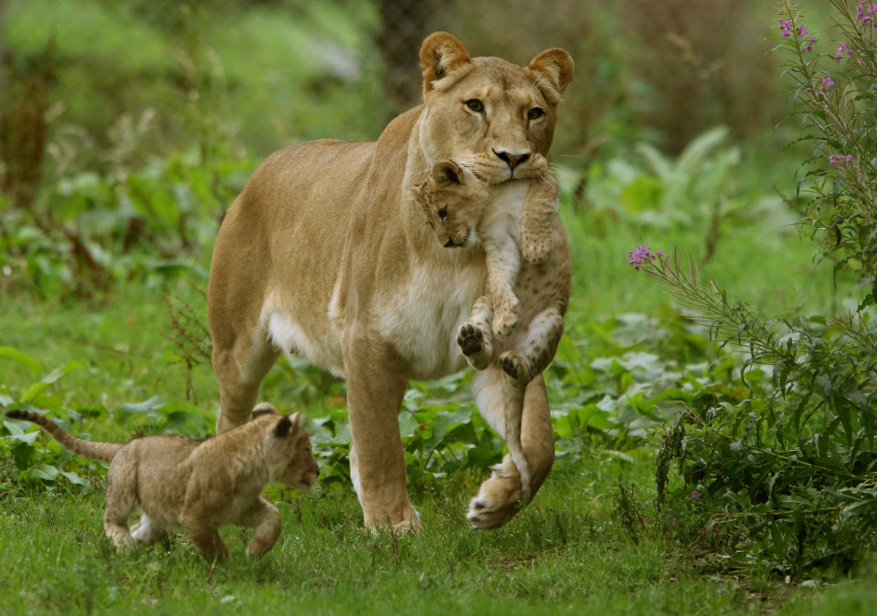 Lion Pulling A Face Top Predator Taunts Funny Animal Meme Image