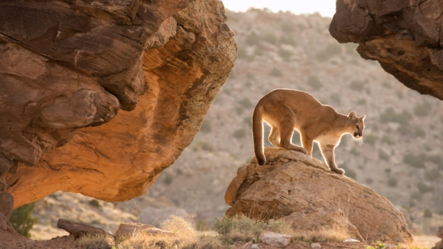 Campaign to save California's mountain lions raises millions to build one of world's biggest wildlife bridges