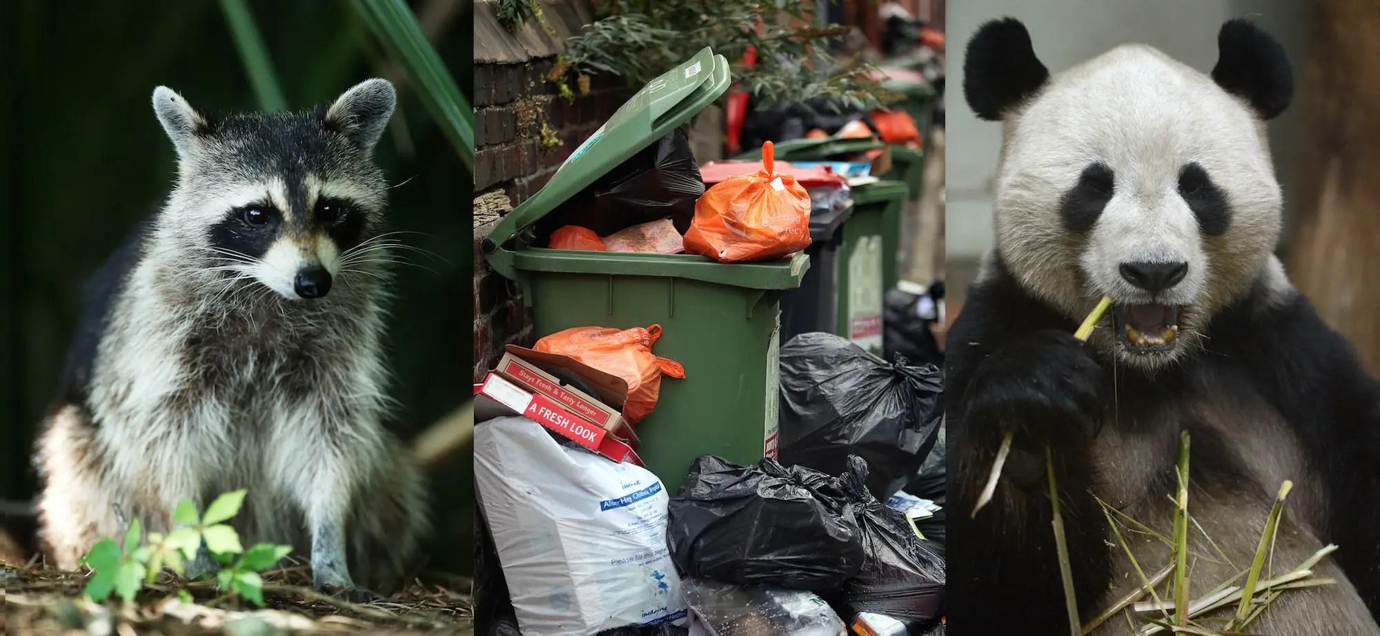 Trash Panda Raccoon Meme Explained Insider