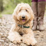 Labradoodle Creator Wally Conron Says He Regrets Creating The Breed Insider