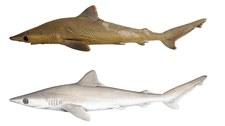 Pierwszy nowy gatunek rekina w 2019 roku