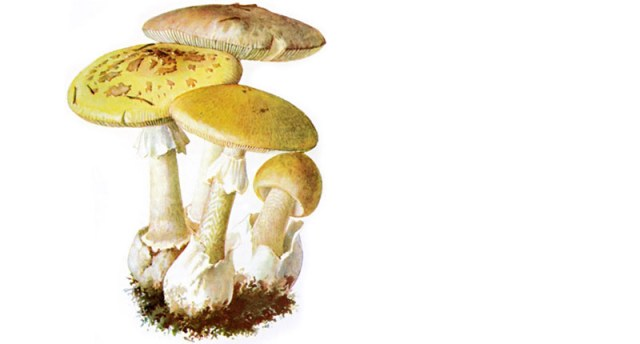 The death cap mushroom, only 30 g of amatoxin (equivalent to half a mushroom) is enough to kill an adult.