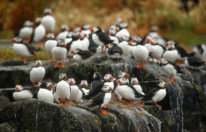 Quần đảo Farne đã tạo ra một môi trường sống lý tưởng và bảo vệ an toàn giúp loài chim hải âu cổ rụt sinh sống.