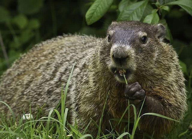 Macmot châu Mỹ