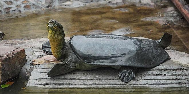 Một cá thể rùa mai mềm Dương Tử ở công viên Sơn Phương.