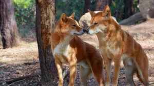Dogs and Dingoes Do Not Bone