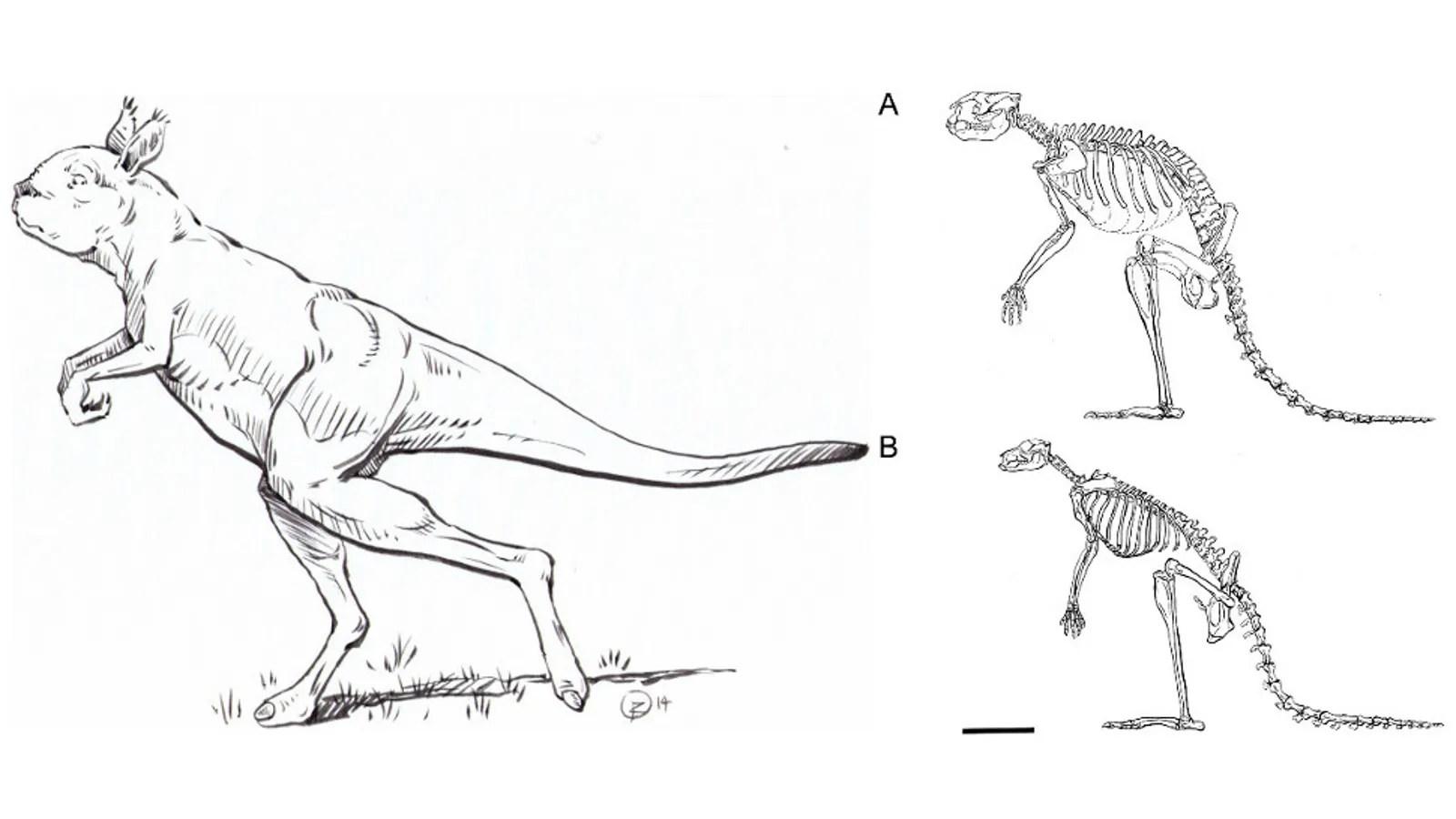 This Gigantic Ancient Kangaroo Didn T Hop