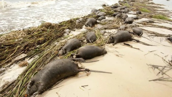 Tons of bloated rat carcasses drift ashore in wake of Hurricane Isaac For dolphins  a hurricane can actually bring new life  in the aftermath of  Hurricane Katrina  dolphin birth rates soared   but for rats  a hurricane  the