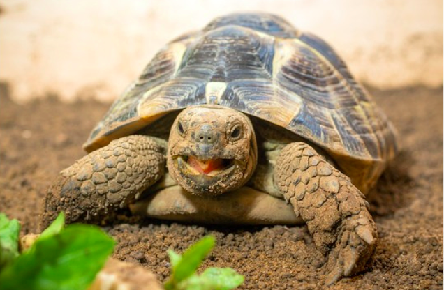 Man Crowdfunds Penis Surgery for His Pet Tortoise