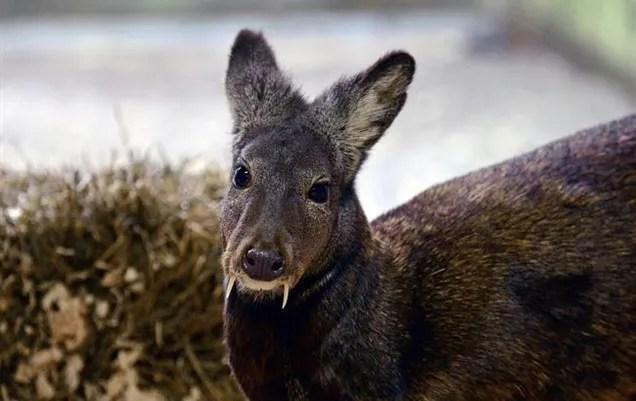 ciervo colmillo
