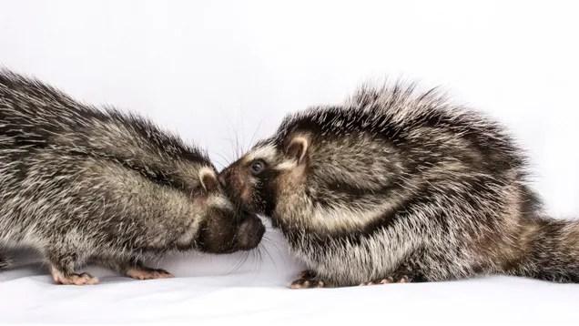 x9e9cm49b5mguyxdyua7 This Monogamous, Poisonous Rat Is Full of Surprises | Gizmodo