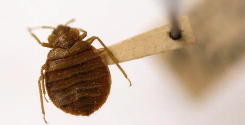 The Forgotten Era: When Bed Bugs Were Tested for Combat in Vietnam