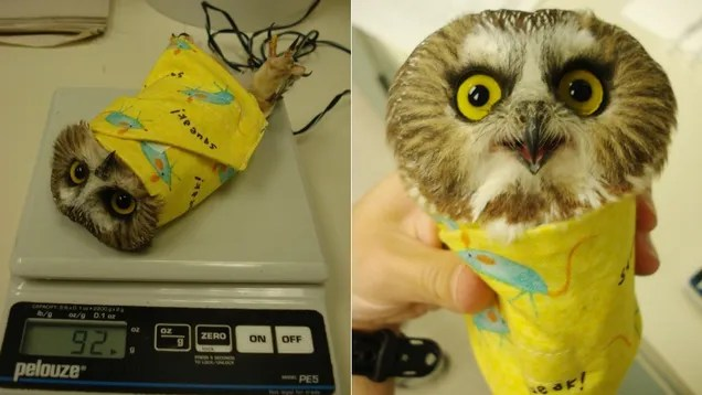 Owls are weighed wrapped up in blankets like little bird burritos