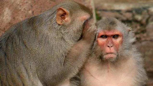 """Spraying monkeys with """"love hormone"""" makes them act nicer to each other"""