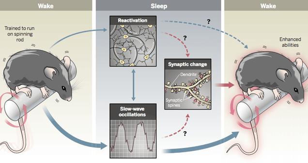 We May Finally Know Why Sleep Improves Memory